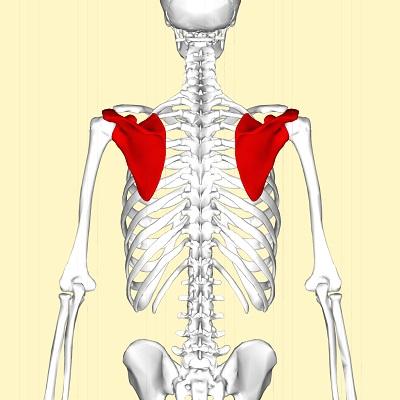 肩甲骨とは